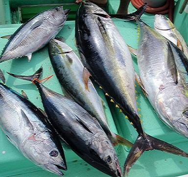 Cá Ngừ Đại Dương Lý Sơn